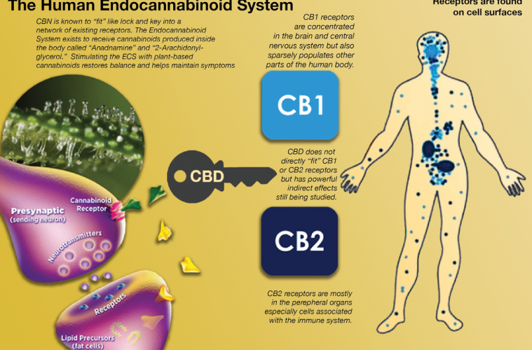 how cbd effects your body